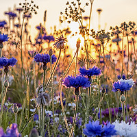 Buy canvas prints of Cornflowers in the setting sun by Shaun Davey