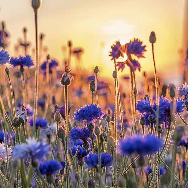Cornflowers in the setting sun Canvas Print by Shaun Davey