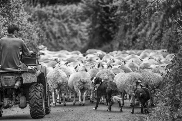 Herding sheep - Exmoor Print by Shaun Davey