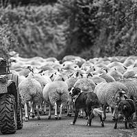 Buy canvas prints of Herding sheep - Exmoor by Shaun Davey