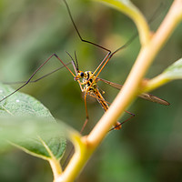 Buy canvas prints of Cranefly: Tipulidae by Moray Nature