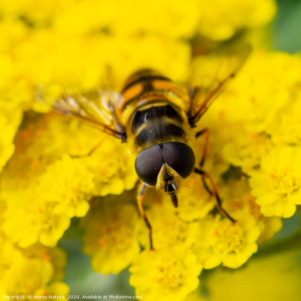 Hoverfly: Syrphidae Acrylic by Moray Nature