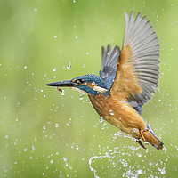 Buy canvas prints of Kingfisher  by Alec Stewart