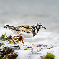 Buy canvas prints of Turnstone along the Shoreline by Alec Stewart