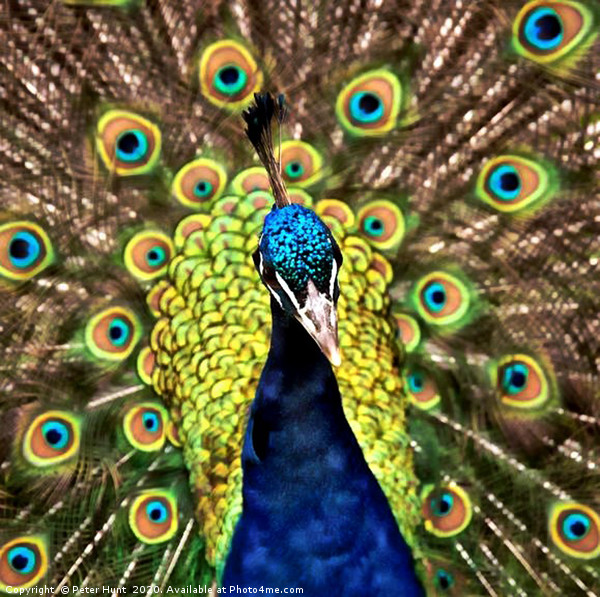 Peacock Canvas Print by Peter Hunt
