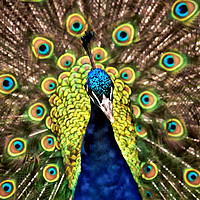 Buy canvas prints of Peacock by Peter Hunt