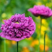 Buy canvas prints of Purple Opium Poppy by Peter Hunt