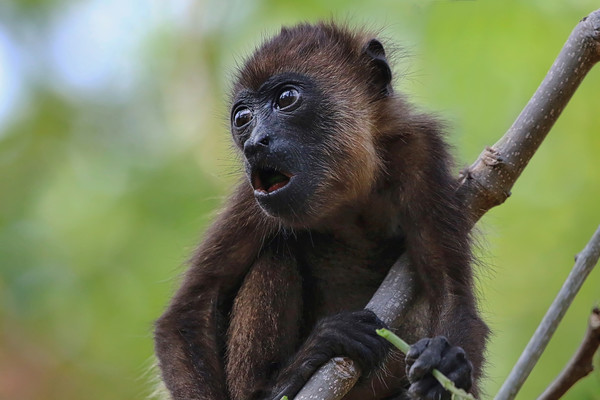 Baby Howler Monkey in a tree in Costa Rica Canvas Print by Simon Marlow
