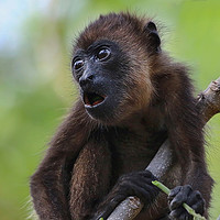Buy canvas prints of Baby Howler Monkey in a tree in Costa Rica by Simon Marlow