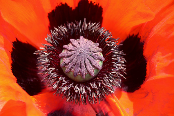 Beautiful vibrant colours of a Poppy flower Print by Simon Marlow