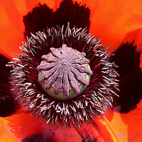 Buy canvas prints of Beautiful vibrant colours of a Poppy flower by Simon Marlow