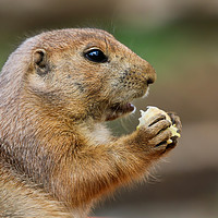 Buy canvas prints of Prairie Dog from the side eating by Simon Marlow