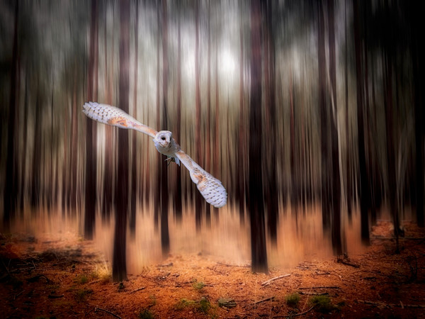 Barn Owl coming through the forest Framed Mounted Print by Simon Marlow