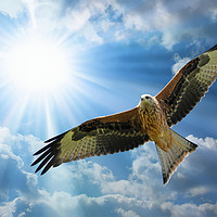 Buy canvas prints of Red Kite in the summer sky over Shropshire by Simon Marlow