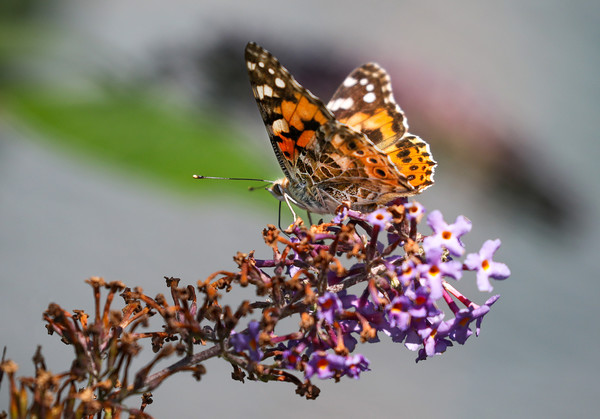 Painted Lady Butterfly Acrylic by Simon Marlow