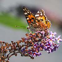 Buy canvas prints of Painted Lady Butterfly by Simon Marlow
