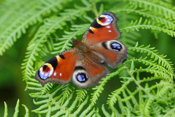 Peacock Butterfly Canvas Print by Simon Marlow