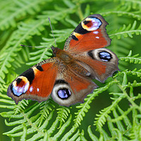 Buy canvas prints of Peacock Butterfly by Simon Marlow