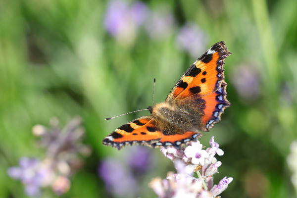 Tortoisehell Butterfly Canvas Print by Simon Marlow