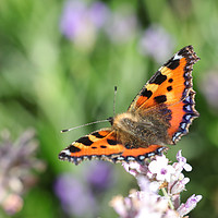 Buy canvas prints of Tortoisehell Butterfly by Simon Marlow