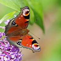 Buy canvas prints of Beautiful vibrant Peacock Butterfly by Simon Marlow