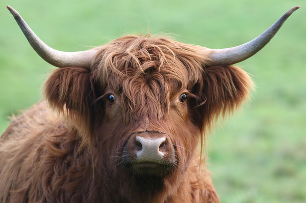 The mighty Highland Cow Framed Mounted Print by Simon Marlow