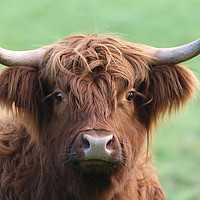 Buy canvas prints of The mighty Highland Cow by Simon Marlow