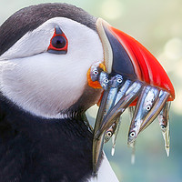Buy canvas prints of Atlantic Puffin returning from the sea by Simon Marlow