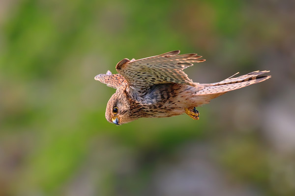 Stunning Kestrel in flight and hunting Print by Simon Marlow