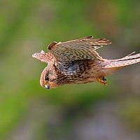 Buy canvas prints of Stunning Kestrel in flight and hunting by Simon Marlow
