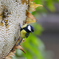 Buy canvas prints of A Great Tit feasting on a Giant Sunflower Head by Simon Marlow