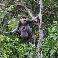 Buy canvas prints of The rare Red-Shanked Douc Langur of Vietnam by Simon Marlow