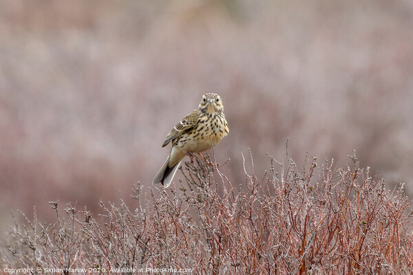 Meadow Pipit on Long Mynd Shropshire Framed Mounted Print by Simon Marlow