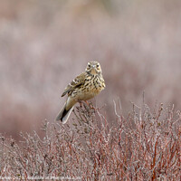 Buy canvas prints of Meadow Pipit on Long Mynd Shropshire by Simon Marlow