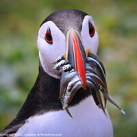 Buy canvas prints of Atlantic Puffin returning with Sandeels by Simon Marlow