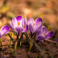 Buy canvas prints of Crocus, plural crocuses or croci is a genus of flowering plants in the iris family. A bunch of crocuses, a meadow full of crocuses,on yellow dry grass by Przemek Iciak