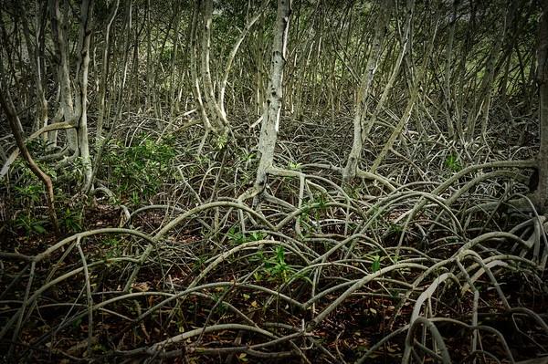 mangrove, shrub or small trees Canvas Print by federico stevanin