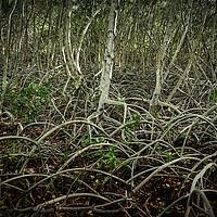 Buy canvas prints of mangrove, shrub or small trees by federico stevanin