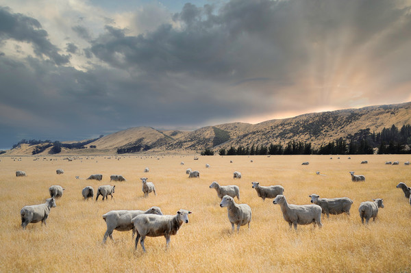 flock of sheep graze at sunset in a valley Canvas Print by federico stevanin
