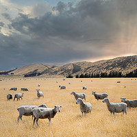 Buy canvas prints of flock of sheep graze at sunset in a valley by federico stevanin
