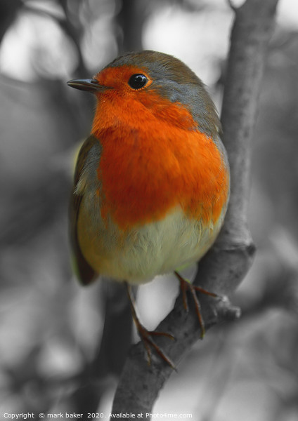 Robin Red Breast. Canvas Print by mark baker