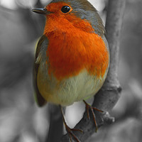 Buy canvas prints of Robin Red Breast. by mark baker