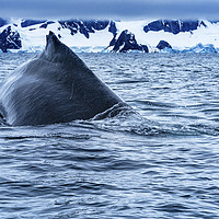 Buy canvas prints of Humpback Whale Charlotte Harbor Antarctica by William Perry