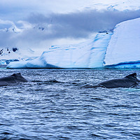 Buy canvas prints of Two Humpback Whales Charlotte Harbor Antarcti by William Perry