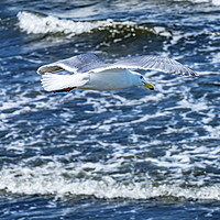 Buy canvas prints of Seagull Flying Over Waves North Beach Park Edmonds by William Perry