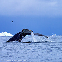 Buy canvas prints of Humpback Whale Tail Charlotte Harbor Antarctica by William Perry