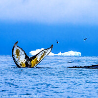 Buy canvas prints of Humpback Whales Tail Water Charlotte Harbor Antarctica by William Perry