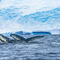 Buy canvas prints of Two Humpback Whales Blue Iceberg Water Charlotte Harbor Antarcti by William Perry