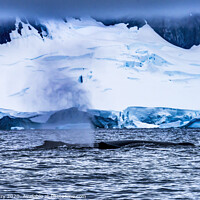 Buy canvas prints of Humpback Whales Breathing Glaciers Charlotte Harbor Antarctica by William Perry