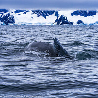 Buy canvas prints of Snowing Humpback Whale Charlotte Harbor Antarctica by William Perry